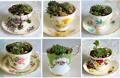 Mini Garden In A China Cup With Living Succulents  • 22£